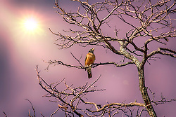 A lonely Robin perches in a bare isolated winter tree as the sun begins to set and casts shades of purple splendor through the skies.