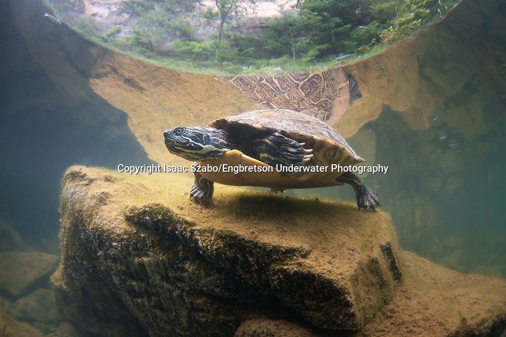 River Cooter<br /> <br /> Isaac Szabo/Engbretson Underwater Photography