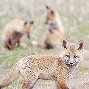 Red Fox kits (Vulpus fulva) near den. Spring. Montana.