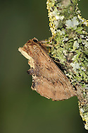 Coxcomb Prominent Ptiodon capucina Length 20-22mm. A richly-coloured moth that rests with its wings held in tent-like manner, at an acute angle; sideways on, the buffish coxcomb-like tuft at the head end is distinctive. Adult has reddish brown forewings with a scalloped outer edge. Double-brooded: flies April-May and August-September. Larva feeds on deciduous trees and shrubs. Widespread and common in lowland Britain.