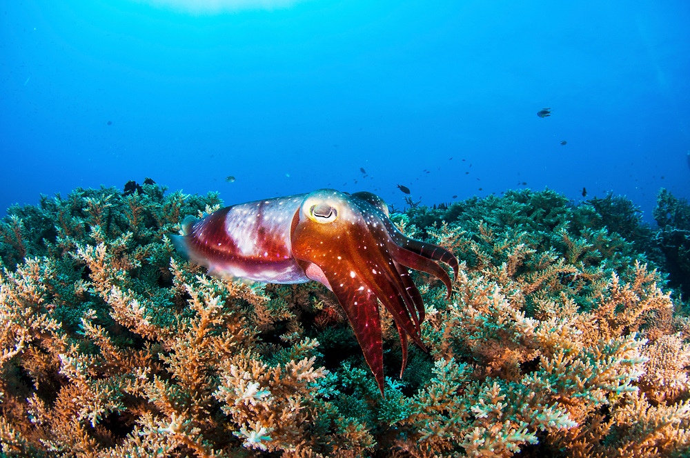 Broadclub cuttlefish (Sepia latimanus) portrait over pristine coral reef, Kimbe Bay, Papua New Guinea