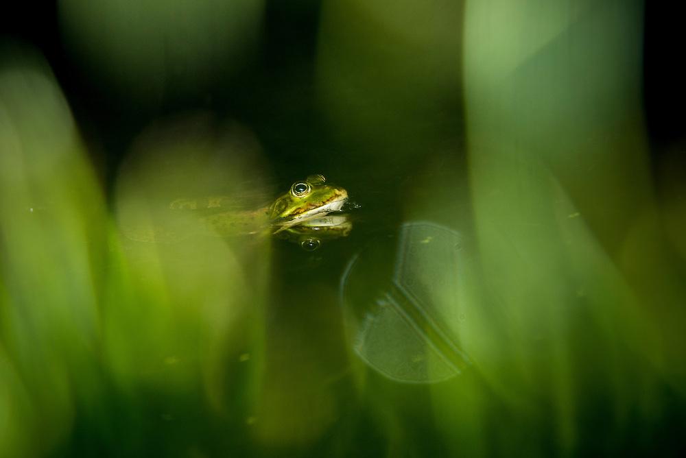 Edible Frog (Pelophylax kl. esculentus) or common European frog, ätlig groda, fertile, hybrid.<br /> Location: Flommen, Skanör, Sweden