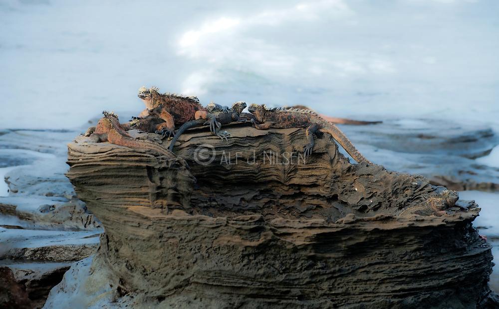 Group of marine iguianas (Amblyrhynchus cristatus) basking on top of a lava pillar at James bay (Puerto Egas), Santiago Island, Galapagos.