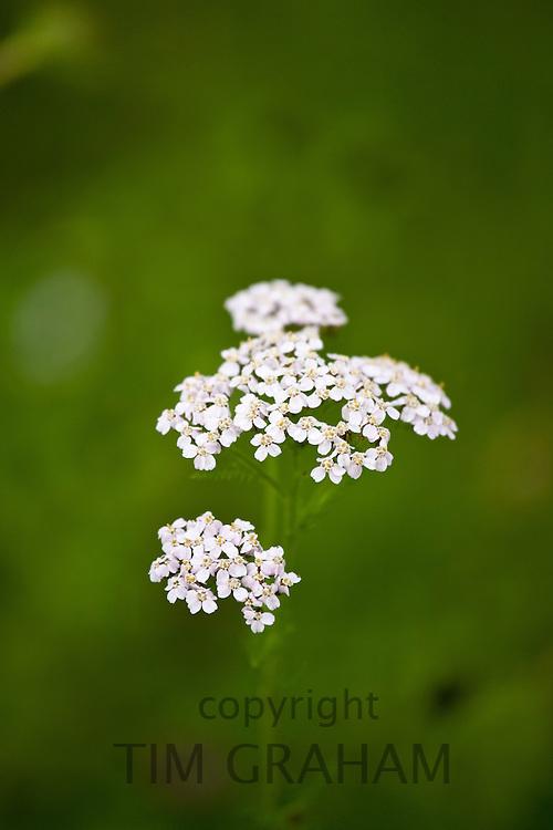 Wildflower in pastureland, UK