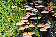 Mushrooms grow on the lush Cataract Creek Trail, in Mount Tamalpais Watershed, Marin County Municipal Water District, California, USA.