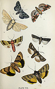 Plate VIII 1. Scarce Marveil du Jour. 2. Large Wainscot. 3. Peach Blossom. 4. Pink-barred Sallow. 5. Large Yellow Underwing. 6. Archer's Dart. 7. Feathered Gothic. 8. Broad - Bordered Yellow underwing from the book ' The common moths of England ' by Wood, J. G. (John George), 1827-1889 Publication date 1878 in London : by G. Routledge and Sons