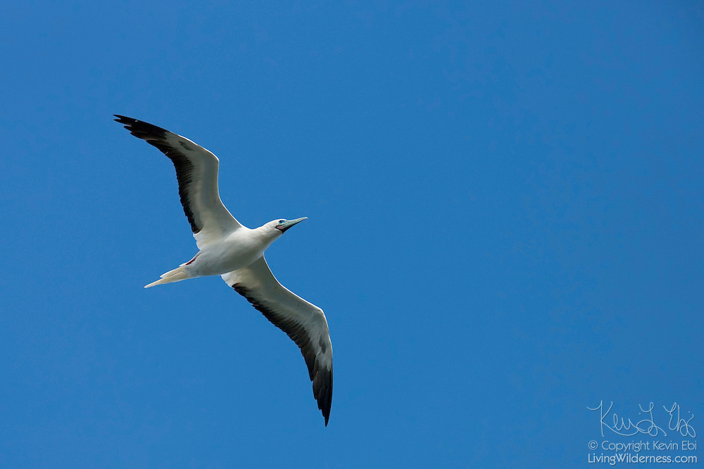A red-footed booby (Sula sula rubripes) flies over the Kilauea Point National Wildlife Refuge in Kauai, Hawaii. It hunts by diving from great heights to catch squid and fish.