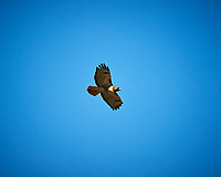 Red-tailed Hawk soaring. Image taken with a Nikon D3 camera and 80-400 mm VR lens (ISO 200, 400 mm, f/5.6, 1/3200 sec).