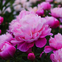 """""""Peony Garden""""<br /> <br /> Bountiful peonies at the Peony Garden at the Nichols Arboretum, in Ann Arbor Michigan!!<br /> <br /> Flowers by Rachel Cohen"""