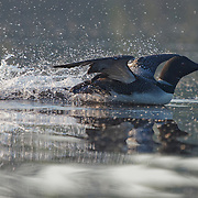 Common loon or great northern diver (Gavia immer) wing rowing away from another loon in a possible territorial dispute. Island Lake, Minnesota