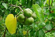 Milo tree, Lyon Arboretum, Manoa Vally, Honolulu, Hawaii