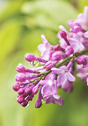 THEMENBILD - die Blüten des Fliederbusches mit Wassertropfen in Detailansicht, aufgenommen am 21. Mai 2019, Kaprun, Österreich // the flowers of the lilac bush with drops of water in detail view on 2019/05/21, Kaprun, Austria. EXPA Pictures © 2019, PhotoCredit: EXPA/ Stefanie Oberhauser