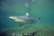 Galapagos shark, Carcharhinus galapagensis, Hawaii ( Pacific )