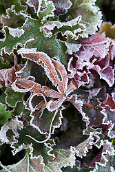 The leaf of Acer palmatum 'Red Pygmy' on Heuchera 'Can-can' in frost