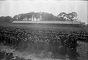03/07/1963<br /> 07/03/1963<br /> 03 July 1963<br /> Views of tomato farm at Rush and Kinsealy, Co. Dublin. Image shows Chrysanthemums growing at Kinsealy. Hothouse in background.