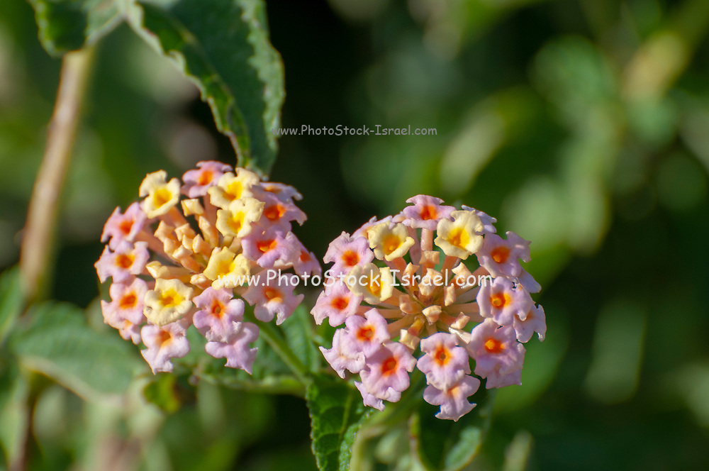Pink and yellow lantana Photographed in Israel in January