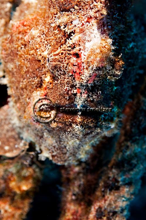 Frogfish Closeup, Antennarius commerson, (Latreille, 1804), Giant Frogfish, Carthaginian, Maui Hawaii