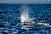 A Sperm Whale, Physeter macrocephalus, surfaces and breathes through one blow hole offshore Pico Island, Azores, Portugal, North Atlantic Ocean. The spray, or spout, emerges on a roughly 45 degree angle and is a mixture of warm air, vapor and water.