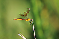 An immature four-spotted pennant dragonfly perches an a dried reed along the coast in the St. Marks National Wildlife Refuge on the Florida Panhandle.
