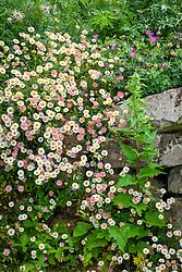 Erigeron karvinskianus - Mexican daisy, Mexican fleabane - growing in a wall