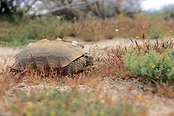 Desert Tortoise With Radio Tag