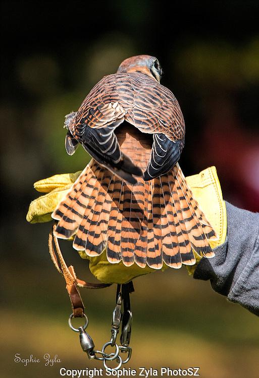 Eshe Female American Kestrel APCH