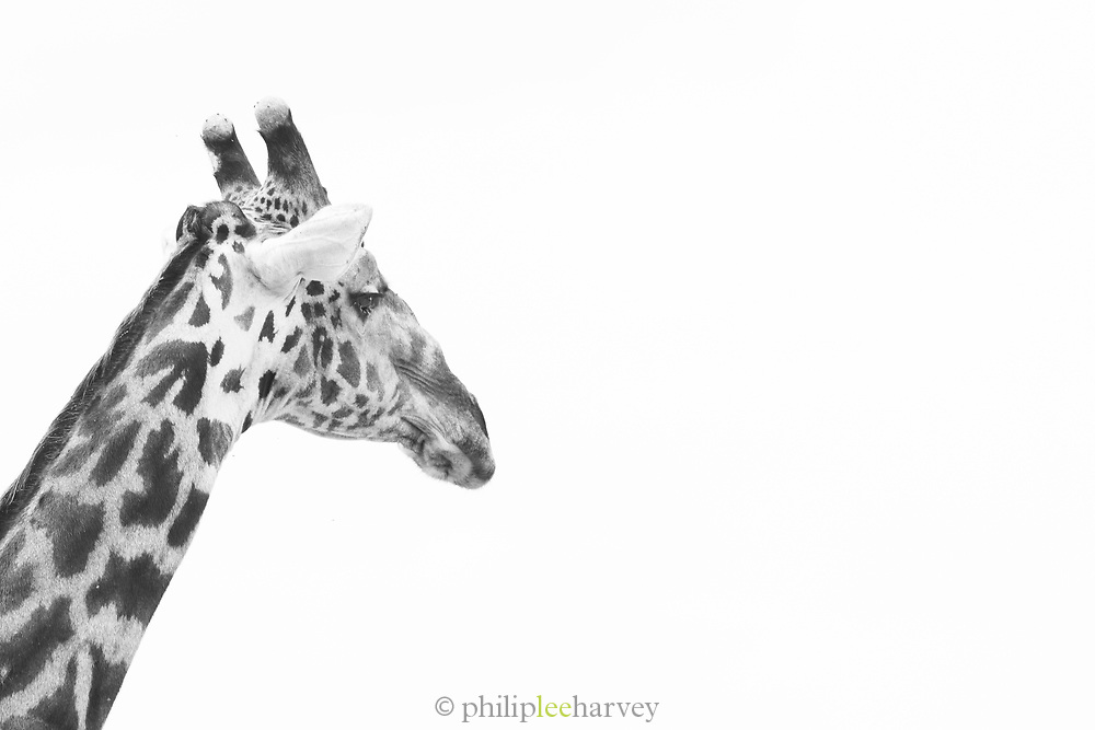 Black and white photograph of a giraffes head in Tarangire National Park, Tanzania