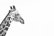Black and white photograph of a giraffes head in Tarangire National Park, Tanzania