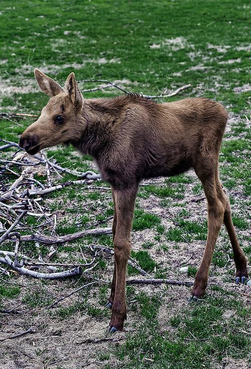 Young moose, Alaska, AK, USA