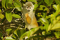 Squirrel Monkey (Saimiri sciureus) next to Anangu lagoon in Yasuni National Park, Orellana Province, Ecuador