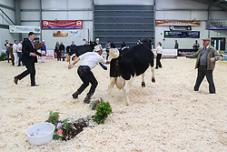 © Licensed to London News Pictures. 11/03/2017. Carlisle, UK. A handler loses control of his friesian cow in the ring at the annual UK Dairy Expo. The event, one of the biggest of it's kind in the UK, is in it's sixth year and is held at the Borderway Exhibition Centre in Carlisle Cumbria.  Photo credit : Ian Hinchliffe/LNP