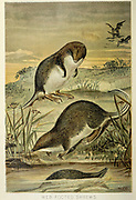 The web-footed tenrec, otter shrew, or aquatic tenrec (Microgale mergulus) From the book ' Royal Natural History ' Volume 1 Edited by  Richard Lydekker, Published in London by Frederick Warne & Co in 1893-1894