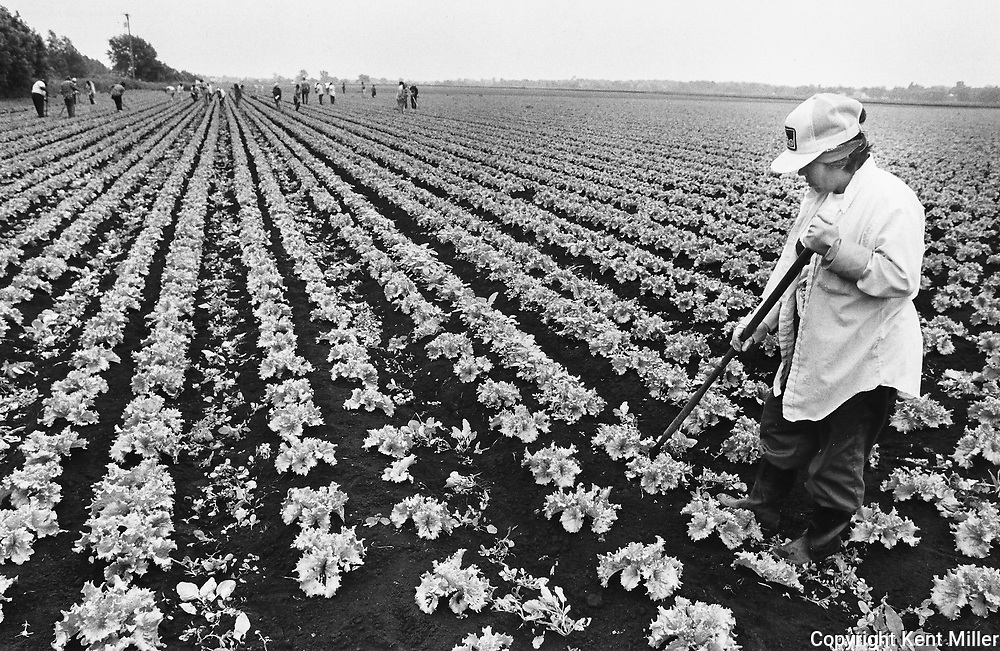 Maria Ramirez, 40, hoes weeds in a field of lettuce at Van Dyk Farm in Imlay City during the summer of 1989.