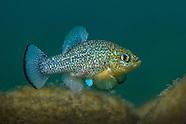 Pupfish, Underwater