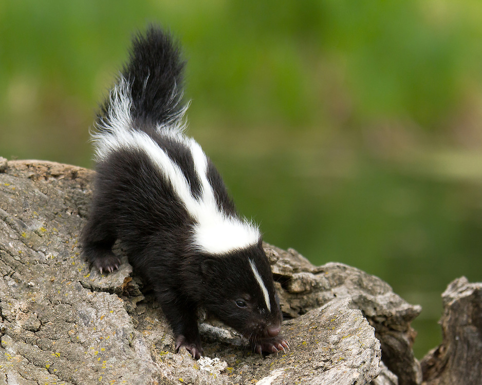 """Baby skunk makes it's way across a downed log.<br /> <br /> Available sizes:<br /> 20"""" x 16"""" print <br /> <br /> See Pricing page for more information. Please contact me for custom sizes and print options including canvas wraps, metal prints, assorted paper options, etc. <br /> <br /> I enjoy working with buyers to help them with all their home and commercial wall art needs."""