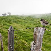 A Reunion stonechat, Saxicola tectes, perches on a fence post along the misty drive to Piton de la Fournaise volcano, Reunion Island, France
