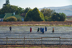 Farm hands working in Stellenbosch, Western Cape, on 30 May, 2020. It's strawberry-planting season. When South Africa moved to Level 4 of the national lockdown at the beginning of this month, the agriculture sector was allowed back to work. However, the wine industry was still stalled as the transport and sale of liquor is prohibited. PHOTO: EVA-LOTTA JANSSON