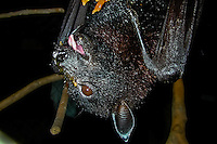 Indonesia, Java, Bandung. Fruit Bat, also called Flying Fox (Pteropus scapulatus). Here eating papaya.