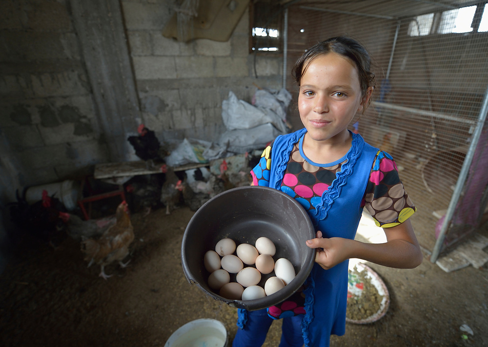 Twelve-year old Iman collects eggs from the chickens in her family's home in Beit Hanoun, Gaza. The house was damaged by Israeli tank fire during the war in 2014, an attack that killed six people in the home next door. The family took refuge in a United Nations school for the remainder of the war, but Iman and her mother walked the five kilometers home whenever there was a lull in the fighting in order to feed their chickens. Only six chickens survived the conflict, but the family has now built that number back to 29 chickens. International Orthodox Christian Charities, a member of the ACT Alliance, has provided the family with assistance, including supplies for the chickens.<br /> <br /> Parentla consent obtained.