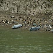 Bearded Seal (Erignathus barbatus) a pair on the Nelson River, Manitoba. Canada