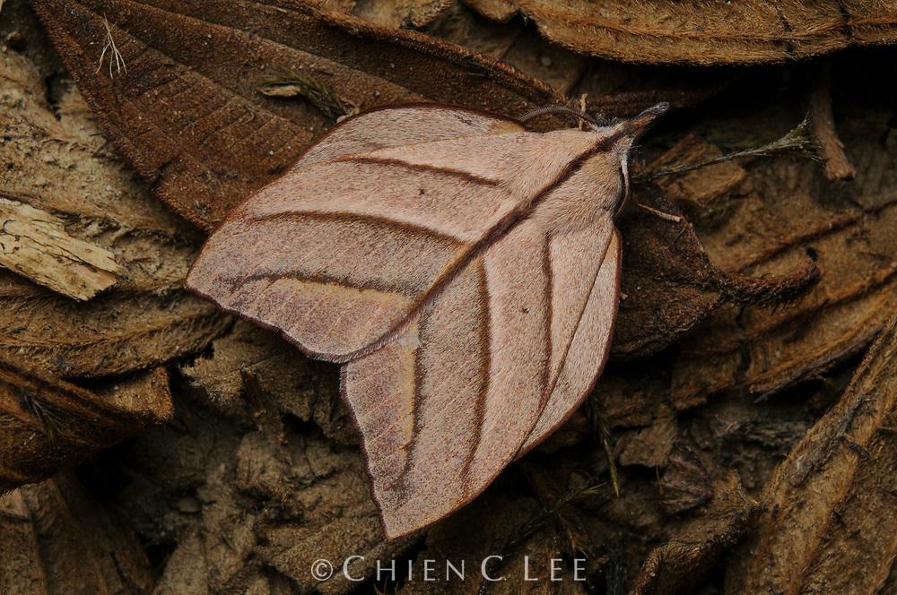 Lasiocampid moth (Arguda insulindiana). Sarawak, Malaysia (Borneo).