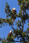 Two adult bald eagles (Haliaeetus leucocephalus) watch their two young eaglets and their nest (not shown) from a neighboring tree.
