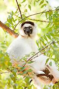 Verreauxs 'Dancing' Sifaka, Berenty Reserve, Madagascar