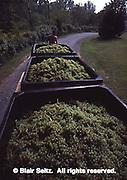 Mt. Hope vineyard, grape harvest, PA wineries