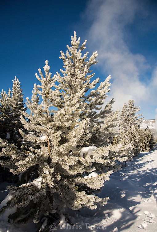 Frost on pine trees, steam from Old Faithful Geyser (background), Yellowstone National Park