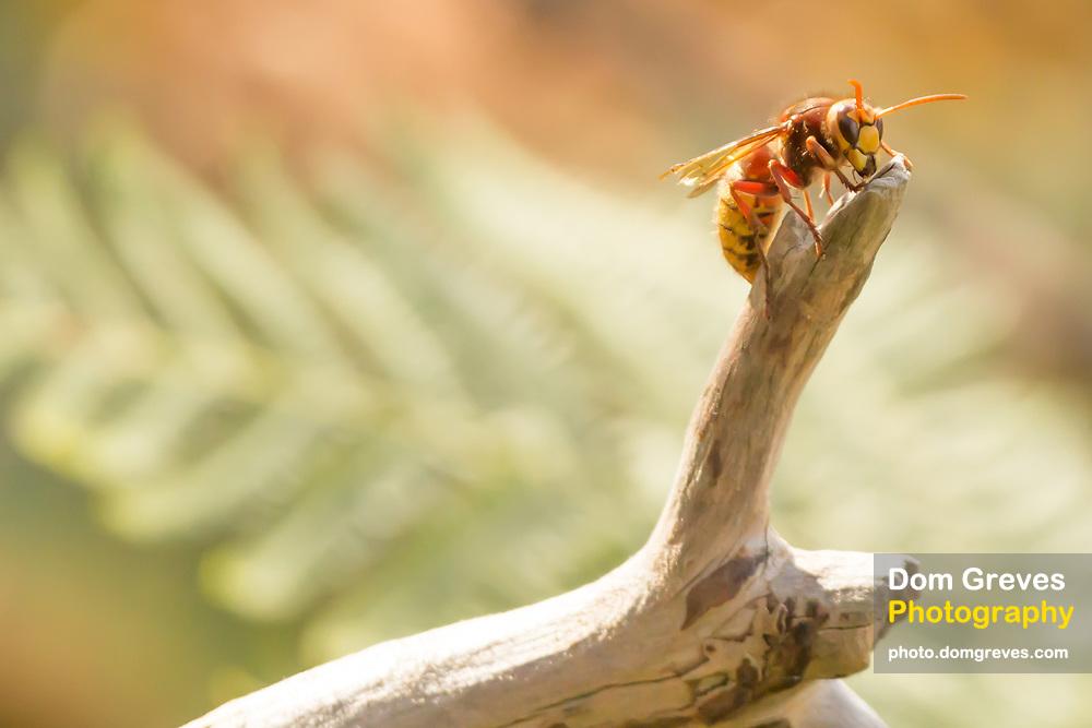 Injured hornet worker (Vespa crabro) climbing a fallen branch. Surrey, UK.