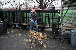 """Big Cats Trainer and Presenter Alexander Lacey walks his leopard Mogli back to the pen after practice at the arena in Fairfax, Va. <br /> <br /> Ringling Bros. and Barnum & Bailey Circus started in 1919 when the circus created by James Anthony Bailey and P. T. Barnum merged with the Ringling Brothers Circus. Currently, the circus maintains two circus train-based shows, the Blue Tour and the Red Tour, as well as the truck-based Gold Tour. Each train is a mile long with roughly 60 cars: 40 passenger cars and 20 freight. Each train presents a different """"edition"""" of the show, using a numbering scheme that dates back to circus origins in 1871 — the first year of P.T. Barnum's show."""