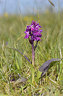 HEBRIDEAN MARSH-ORCHID Dactylorhiza ebudensis (Orchidaceae) Height to 52cm. Small, sturdy orchid of grazed and poached marshy dune slacks. Endemic to Britain. FLOWERS are purple with a 3-lobed lip; borne in short, open spikes (May-Jun). FRUITS are egg-shaped. LEAVES are glossy dark green, heavily marked and blotched with purple, and sometimes uniformly deep purple on upperside. STATUS-Rare, almost confined to a few spots on North Uist, Outer Hebrides.