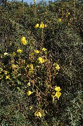 Middelste teunisbloem, Oenothera biennis