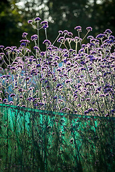Early morning sun backlighting massed Verbena bonariensis - Argentinian vervain - in the stock beds
